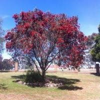 Red callistemon mary mckillop cardinel