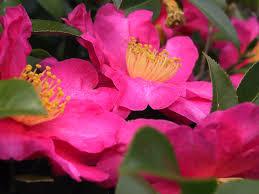 Rose ann Camellia sasanqua
