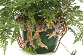 Hares foot fern