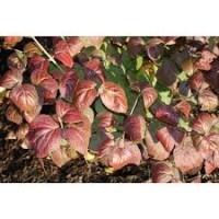 Viburnum burkwoodii foliage