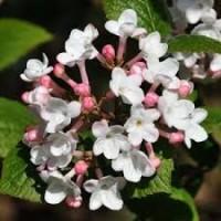 Viburnum burkwoodii fulbrook