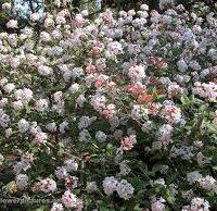 Viburnum juddii shrub