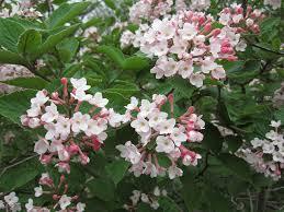 Viburnum juddii