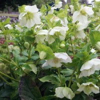 Hellebore white single