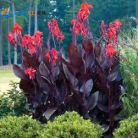 Canna generalis tropical bronze scarlet