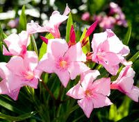 Dwarf oleander single pink Nerium