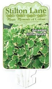 Geranium Little Dandy