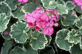 Geranium Little Dandy2