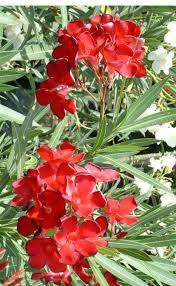 Oleander nerium delphine red