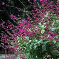 Salvia chiapensis2
