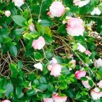 Camellia Narumigata ballarat