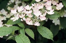 viburnum plicatum pink beauty2