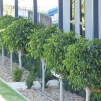 Ficus hillii Beachport 2017