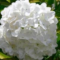 Hydrangea macrophylla Le Cygne Devon Website