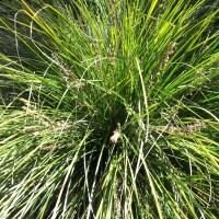 Lomandra longifolia Tanika
