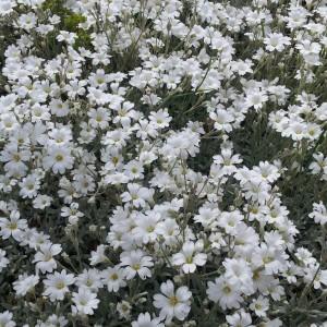 Cerastium tomentosum snow in summer wendys garden