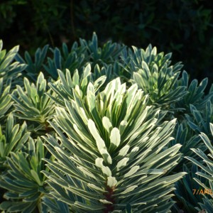 "Euphorbia characias ""Tasmanian Tiger"" variegated Beachport 2017 April"