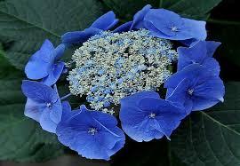 Blue-lacecap