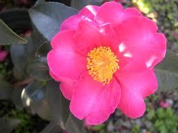 Camellia-Hiryu