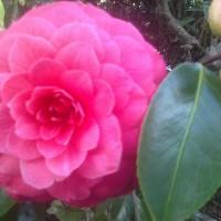 Camellia-Roger-Hall.jpg