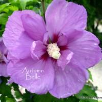 Hibiscus-single-purple