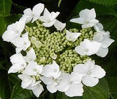 Lacecap-white
