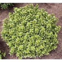 Pittosporum-golf-ball