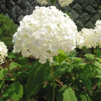 arborescens-annabelle