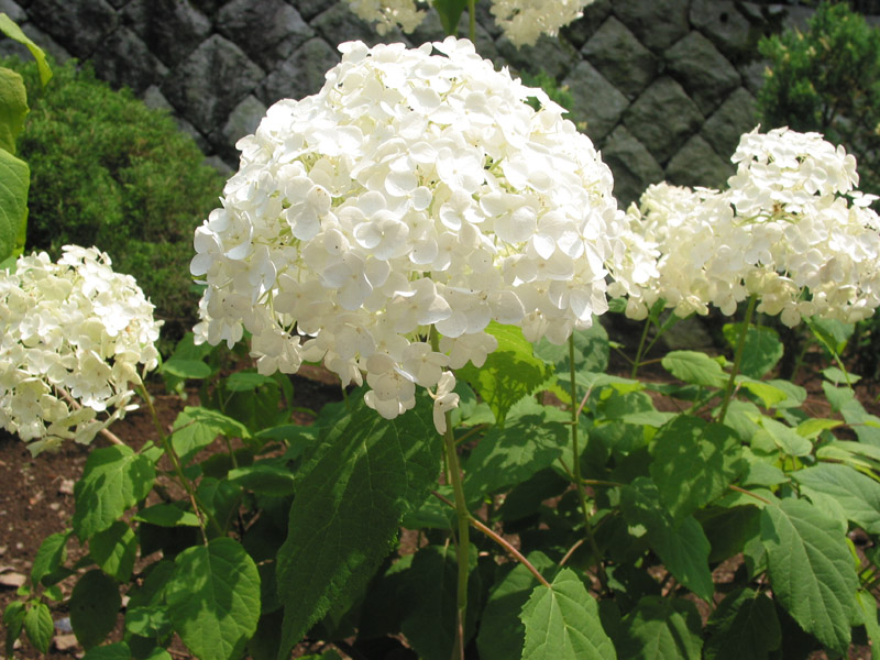 hydrangea arborescens 39 annabelle 39 white mophead mail order. Black Bedroom Furniture Sets. Home Design Ideas