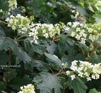 quercifolia-snowflake
