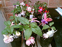Mixed fuchsias