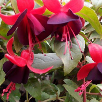 Fuchsia Lord Byron