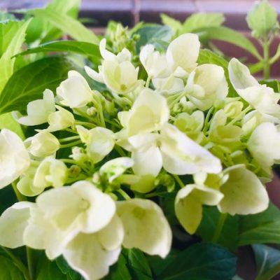 Agnes Pavelli classic white mophead hydrangea
