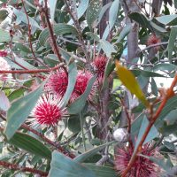 Hakea Laurina Pin Cushion