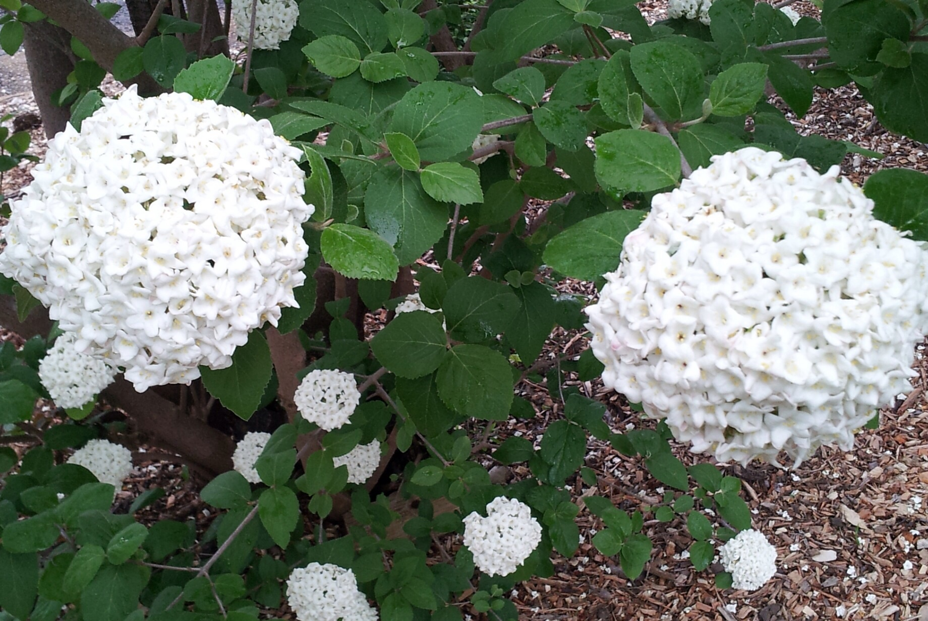 Viburnum X Burkwoodii Anne Russell White Mail Order Online Plants