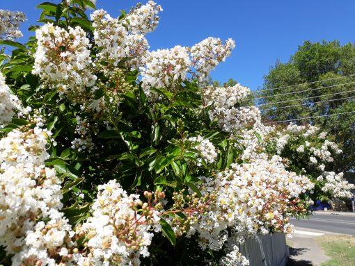 Crepe Myrtle Lagerstroemia indica Natchez White