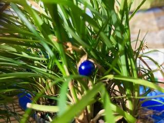 Mondo grass berry