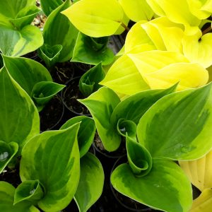 Hosta Varieties, From Oct 2018 (New stock just in) 3 diff ones available, Contact us