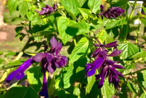 Salvia Black Night hybrid purple