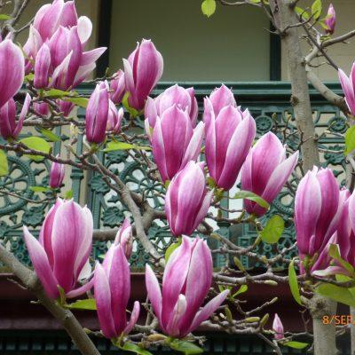 Magnolia Varieties Brenlissa Online Nursery