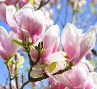 Magnolia Soulangeana Saucer Magnolia Delv From May 2019