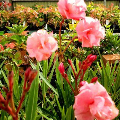 Nerium Oleander Mrs Roeding apricot triple pink