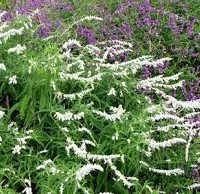 Salvia Leucantha velour white