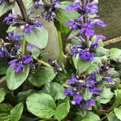 Ajuga blue catlins giant