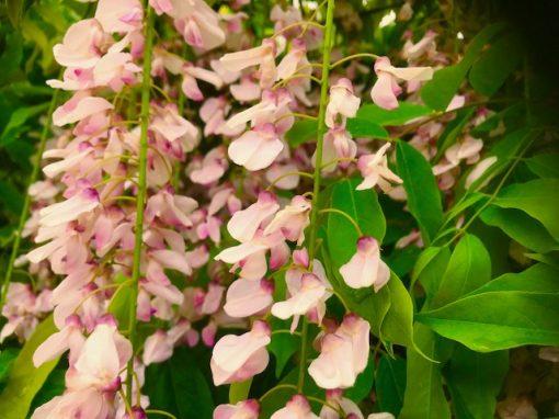 Wisteria pink rosea
