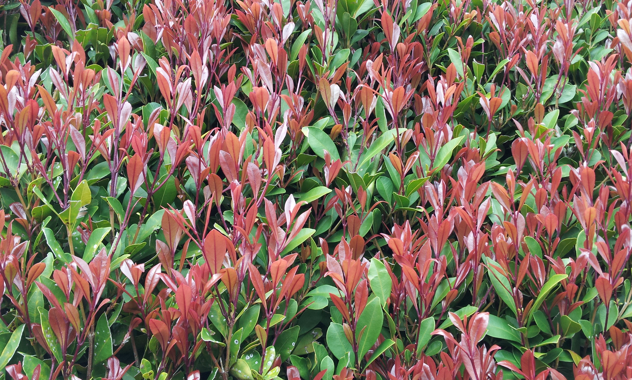 Syzygium australe Lilly Pilly standards
