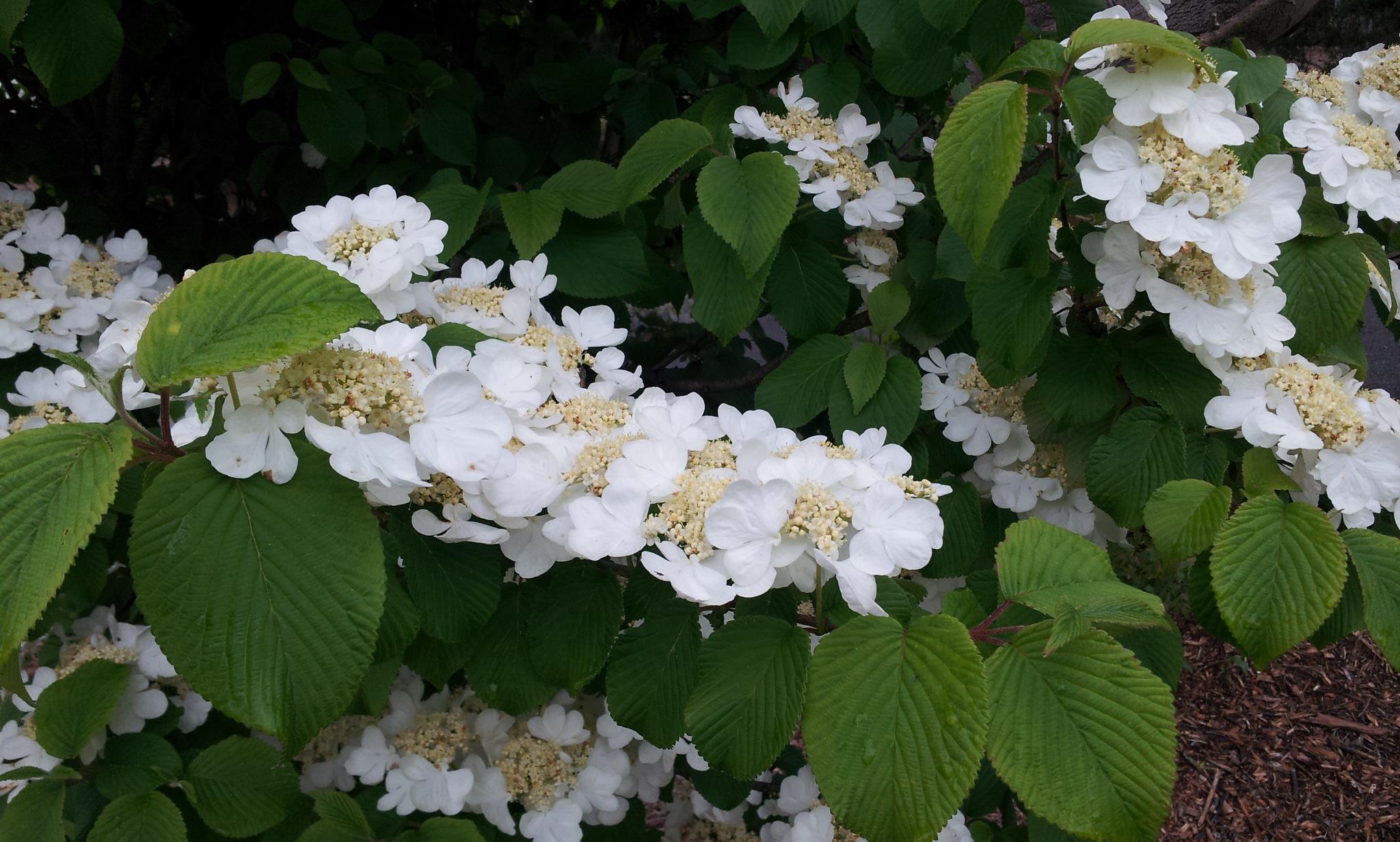 Viburnum Plicatum Grandiflorum Large Globular White Flowers
