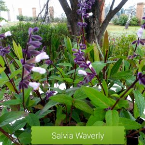 Salvia Waverly