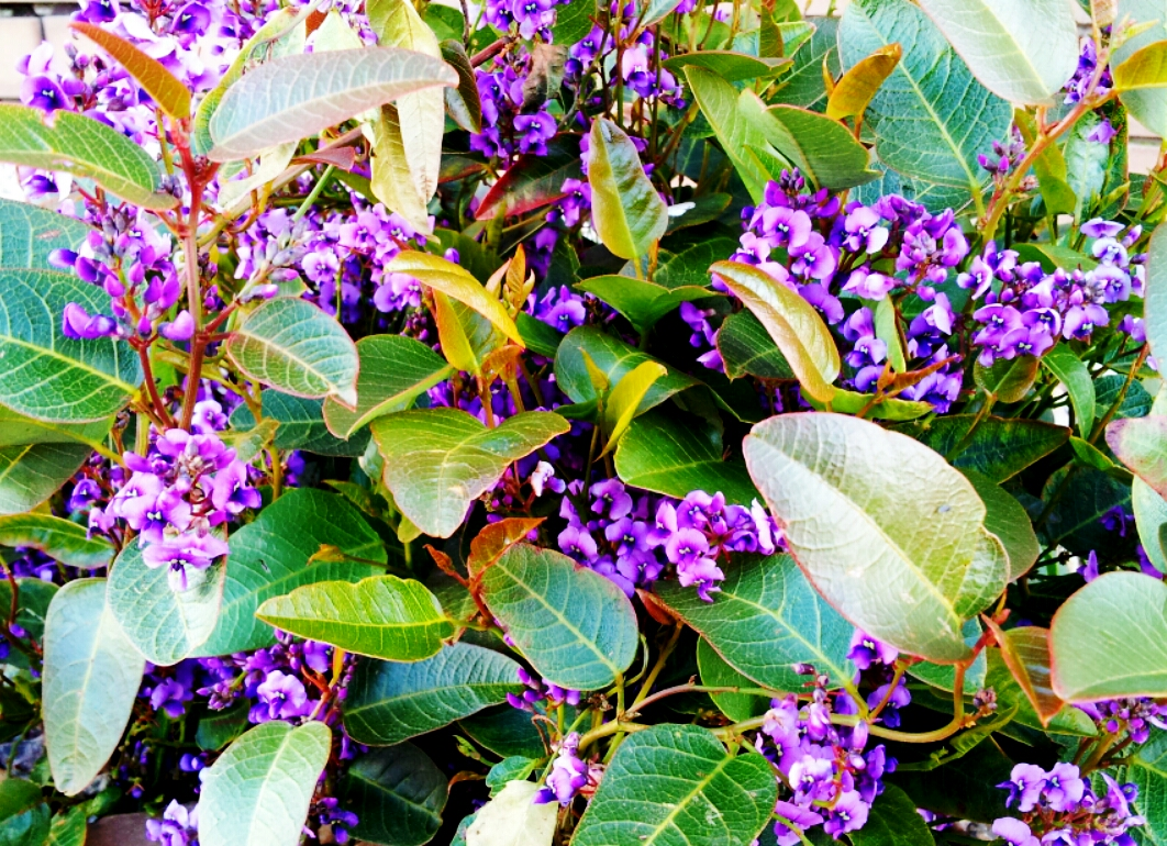 Hardenbergia blue happy wanderer
