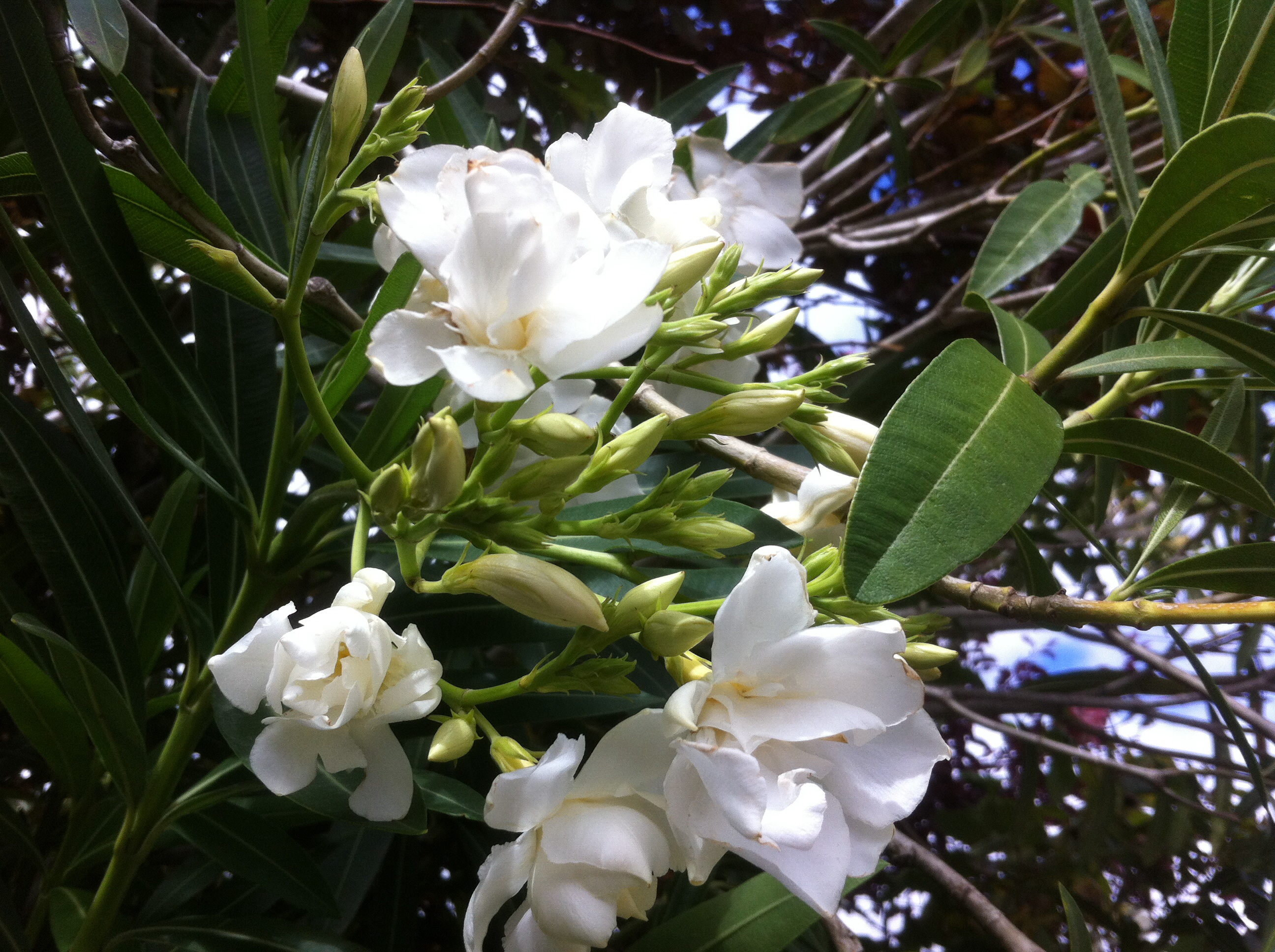 Nerium Madoni Grandiflorum Madonna Grandifloradouble White